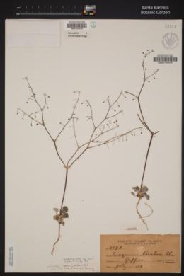 Eriogonum baratum image