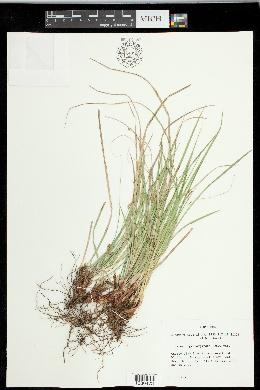 Carex nigromarginata image