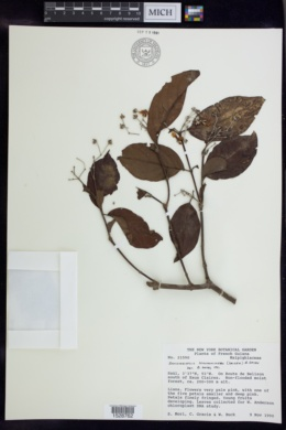 Image of Banisteriopsis schwannioides
