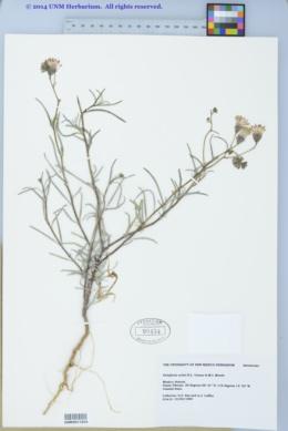 Palafoxia arida image