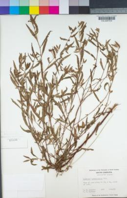 Image of Ludwigia sphaerocarpa