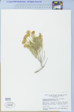 Pseudoclappia arenaria image