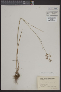 Image of Juncus aristulatus
