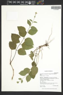 Image of Ageratina venulosa