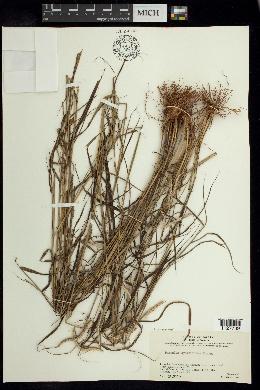 Image of Paspalum cymbiforme