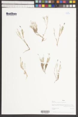 Muhlenbergia fastigiata image