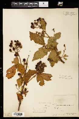 Image of Rubus pergratus