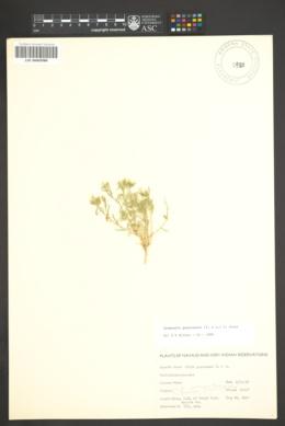 Ipomopsis gunnisonii image