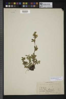 Drymocallis deseretica image