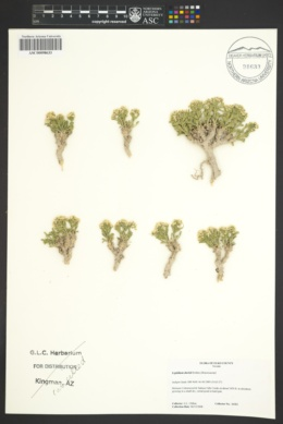 Image of Lepidium davisii