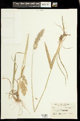 Image of Calamagrostis tweedyi