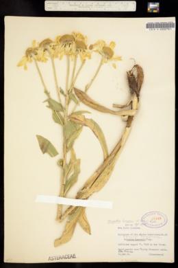 Hymenoxys hoopesii image