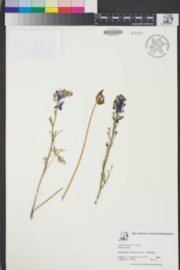 Image of Delphinium parryi