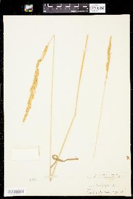 Agrostis microphylla image