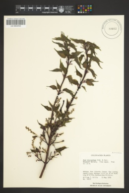 Image of Acer micranthum