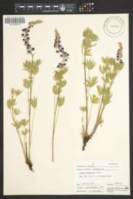 Lupinus argenteus subsp. argenteus image