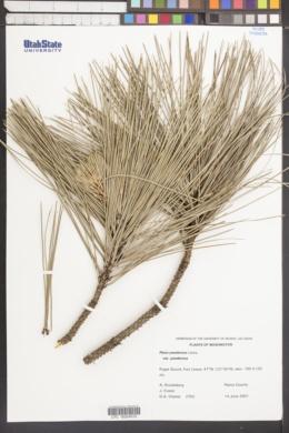 Pinus ponderosa var. ponderosa image