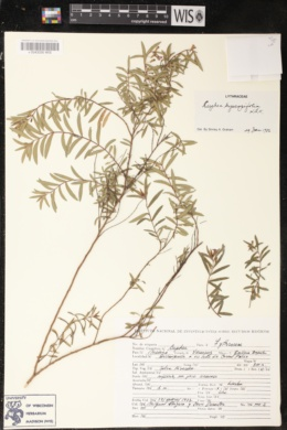 Cuphea hyssopifolia image
