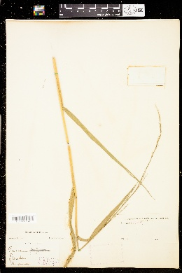 Image of Panicum hemitomon