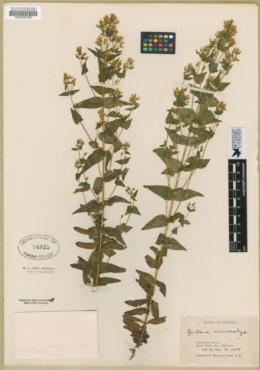 Gentianella microcalyx image