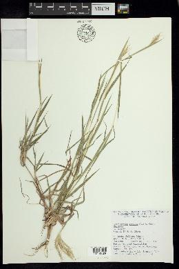 Bothriochloa pertusa image