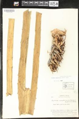 Image of Aechmea magdalenae