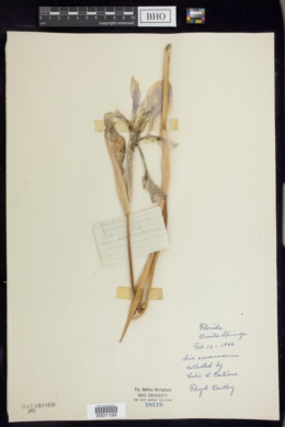 Iris savannarum image