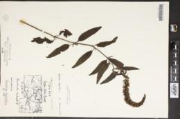 Veronica longifolia image
