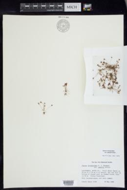 Juncus leiospermus image