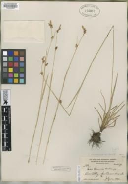 Carex abramsii image