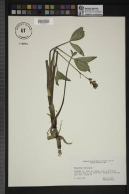 Menyanthes trifoliata image