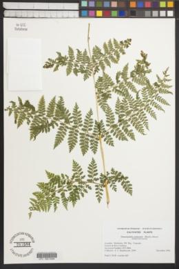 Image of Dennstaedtia samoensis