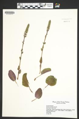 Besseya arizonica image