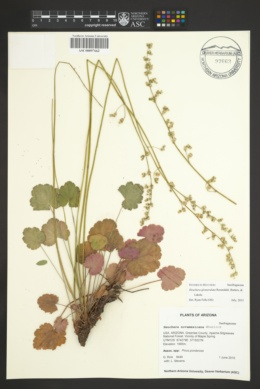 Heuchera glomerulata image