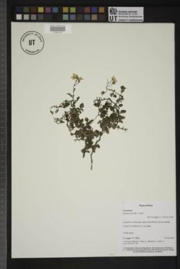 Image of Solanum pennellii