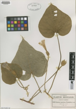 Ipomoea igualensis image