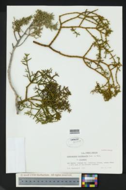 Phoradendron capitellatum image