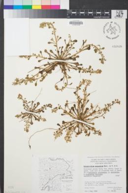 Image of Calyptridium monandrum