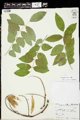 Image of Maackia floribunda