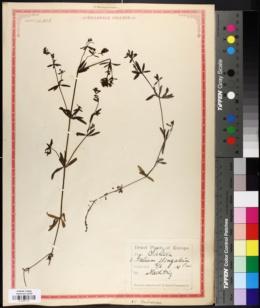 Image of Galium elongatum