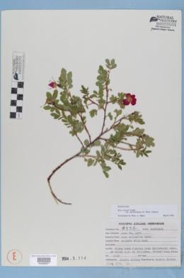 Rosa arizonica image