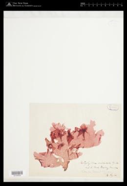 Haraldiophyllum mirabile image