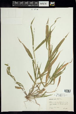 Setaria grisebachii image