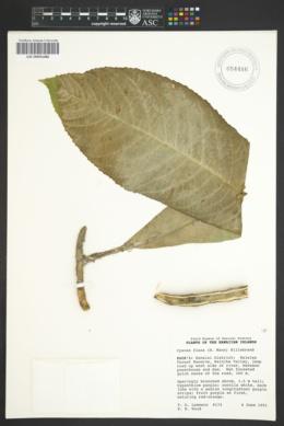 Image of Cyanea fissa