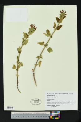 Stachys coccinea image