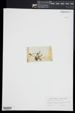 Image of Ophioglossum coriaceum