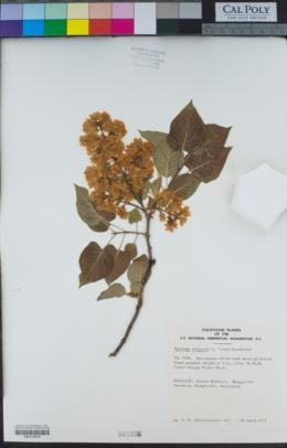 Syringa vulgaris image