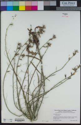Chondrilla juncea image