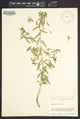 Camissonia pallida image