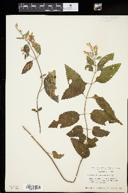Image of Scutellaria incana